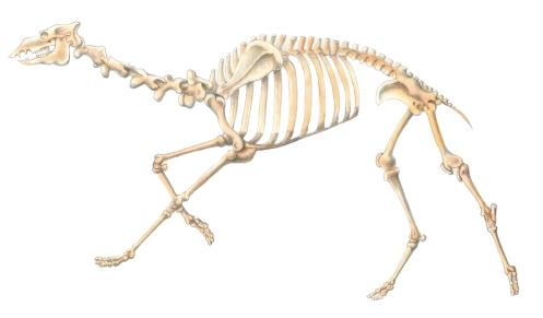 CamelSkeletonLOW