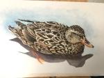 Female mallard WC052619